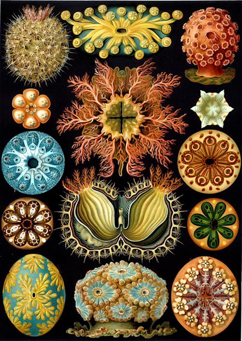 aa Haeckel_Ascidiae