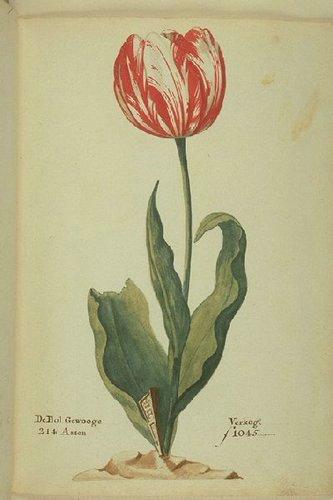 Tulip, Admiral_Verijck_(van_der_Eijck)
